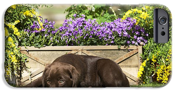 Chocolate Lab iPhone Cases - Chocolate Labrador Puppy iPhone Case by Jean-Michel Labat