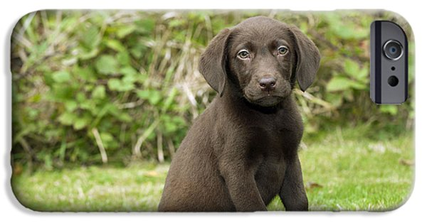 Chocolate Lab iPhone Cases - Chocolate Labrador Puppy iPhone Case by John Daniels