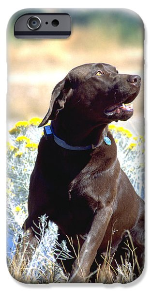 Chocolate Lab iPhone Cases - Chocolate Labrador Retriever Male 5 iPhone Case by William H. Mullins