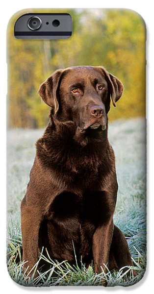 Chocolate Lab iPhone Cases - Chocolate Labrador Retriever iPhone Case by Rolf Kopfle