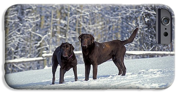 Chocolate Lab iPhone Cases - Chocolate Labrador Retrievers iPhone Case by Rolf Kopfle