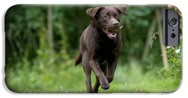 Chocolate Lab iPhone Cases - Chocolate Labrador Running iPhone Case by John Daniels