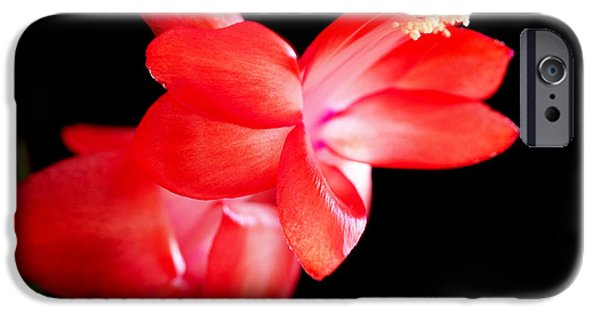 Cactus iPhone Cases - Christmas Cactus Flower iPhone Case by Rona Black