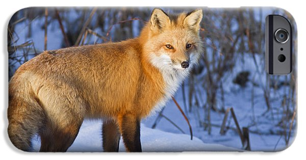 Close iPhone Cases - Christmas Fox iPhone Case by Mircea Costina Photography