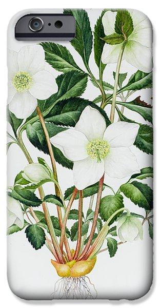 Green Rose iPhone Cases - Christmas Rose iPhone Case by Sally Crosthwaite