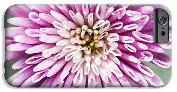 Chrysanthemum iPhone Cases - Chrysanthemum flower closeup iPhone Case by Elena Elisseeva