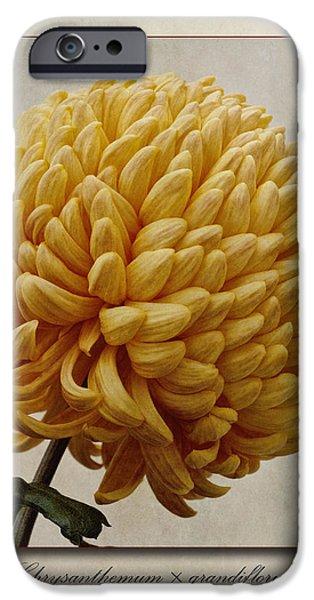 Chrysanthemum grandiflorum Yellow iPhone Case by John Edwards