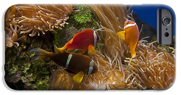 Amphiprion Clarkii iPhone Cases - Clarks Anemonefish and a Tomato Clownfish   #5196 iPhone Case by J L Woody Wooden