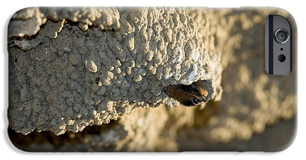 Hirundo iPhone Cases - Cliff Swallow About To Fledge iPhone Case by Anthony Mercieca