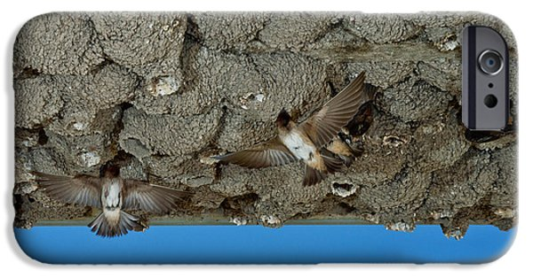 Hirundo iPhone Cases - Cliff Swallows At Nests iPhone Case by Anthony Mercieca
