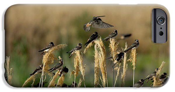 Hirundo iPhone Cases - Cliff Swallows Perched On Grasses iPhone Case by Anthony Mercieca