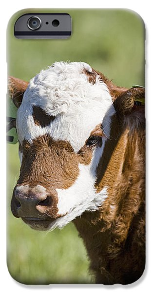 The Beginning iPhone Cases - Close Up Of A Baby Calfs Face iPhone Case by Michael Interisano