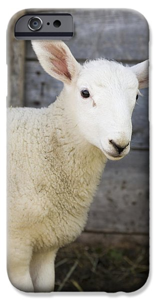 Innocence iPhone Cases - Close Up Of A Baby Lamb iPhone Case by Michael Interisano