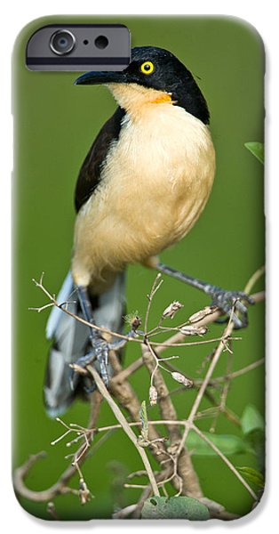 Wetlands iPhone Cases - Close-up Of A Black-capped Donacobius iPhone Case by Panoramic Images
