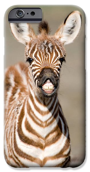 Fauna iPhone Cases - Close-up Of A Burchells Zebra Foal iPhone Case by Panoramic Images