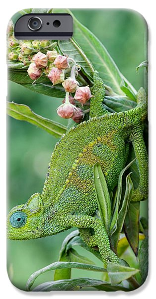 Chameleon iPhone Cases - Close-up Of A Dwarf Chameleon Brookesia iPhone Case by Panoramic Images