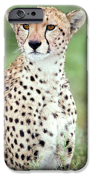 Fauna iPhone Cases - Close-up Of A Female Cheetah Acinonyx iPhone Case by Panoramic Images