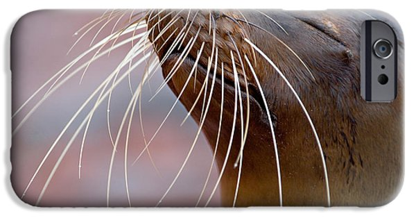 Sea Lions iPhone Cases - Close-up Of A Galapagos Sea Lion iPhone Case by Panoramic Images