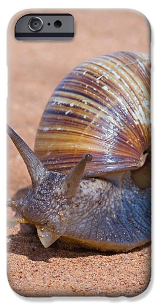 Tarangire iPhone Cases - Close-up Of A Giant African Land Snail iPhone Case by Panoramic Images