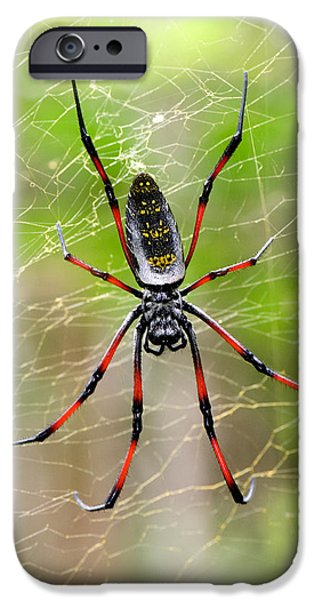 Spider iPhone Cases - Close-up Of A Golden Silk Orb-weaver iPhone Case by Panoramic Images
