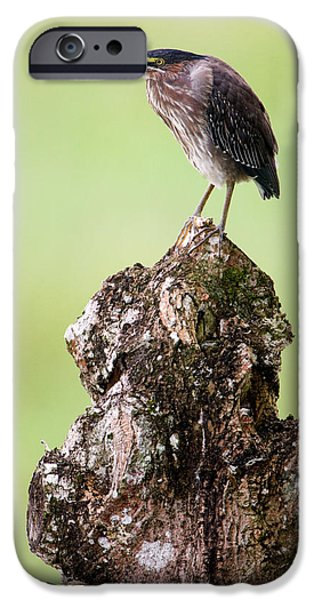 Fauna iPhone Cases - Close-up Of A Green Heron Butorides iPhone Case by Panoramic Images