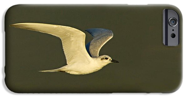 Tern iPhone Cases - Close-up Of A Gull-billed Tern iPhone Case by Panoramic Images