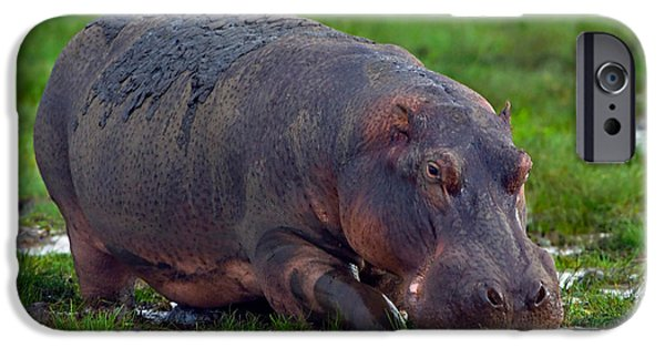 Hippopotamus iPhone Cases - Close-up Of A Hippopotamus, Lake iPhone Case by Panoramic Images