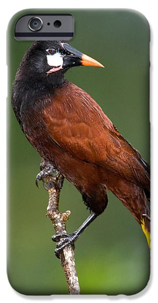 Fauna iPhone Cases - Close-up Of A Montezuma Oropendola iPhone Case by Panoramic Images