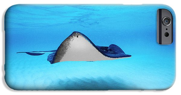 Sea Animals iPhone Cases - Close-up Of A Southern Stingray iPhone Case by Panoramic Images