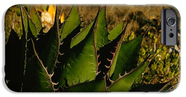 Baja iPhone Cases - Close-up Of An Aloe Vera Plant, Baja iPhone Case by Panoramic Images