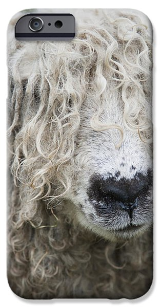 Simple Beauty In Colors iPhone Cases - Close-up Of Leicester Longwool Sheep iPhone Case by Naki Kouyioumtzis