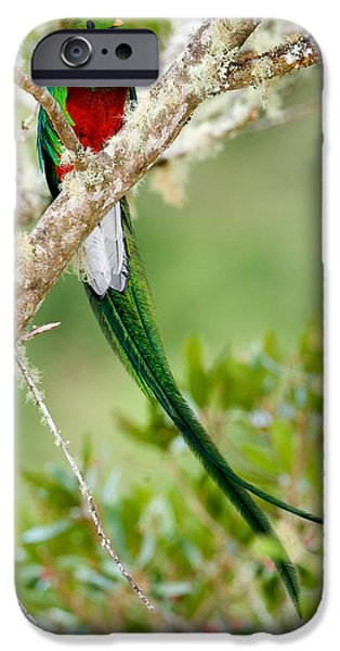 Fauna iPhone Cases - Close-up Of Resplendent Quetzal iPhone Case by Panoramic Images