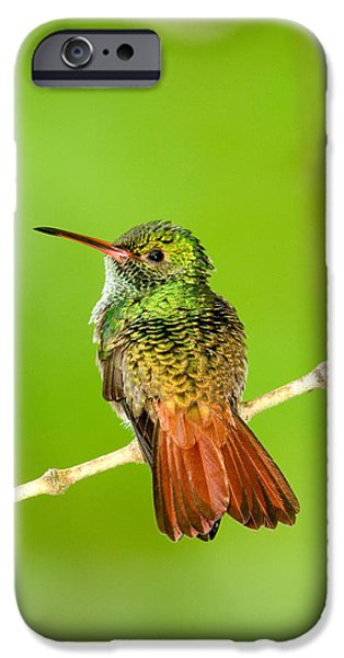 Fauna iPhone Cases - Close-up Of Rufous-tailed Hummingbird iPhone Case by Panoramic Images