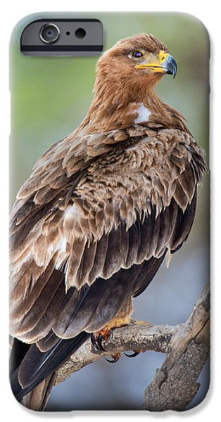 Fauna iPhone Cases - Close-up Of Tawny Eagle Aquila Rapax iPhone Case by Panoramic Images