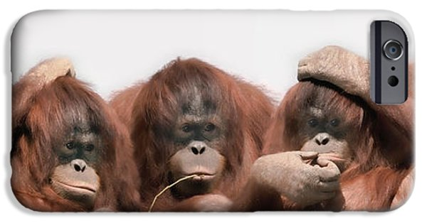 Hand On Head iPhone Cases - Close-up Of Three Orangutans iPhone Case by Panoramic Images