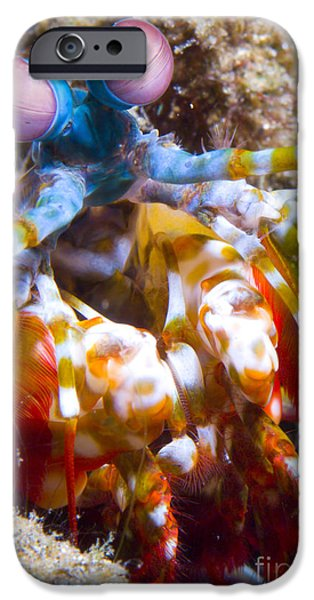 Invertebrates iPhone Cases - Close-up View Of A Mantis Shrimp iPhone Case by Steve Jones