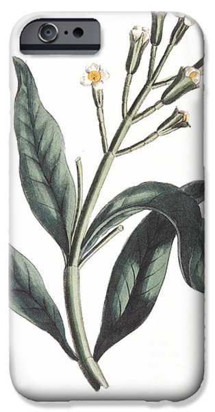 Horticultural Drawings iPhone Cases - Clove Eugenia Aromatica iPhone Case by Anonymous