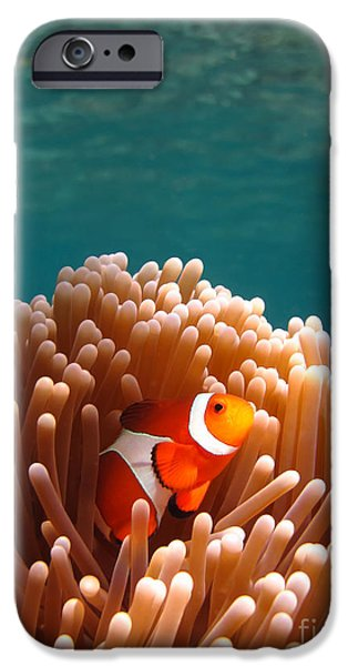 Clown Fish Photographs iPhone Cases - Clownfish in Coral garden iPhone Case by Fototrav Print