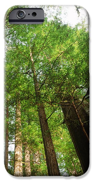 Tall Trees iPhone Cases - Coast Redwood Sequoia Sempivirens Trees iPhone Case by Panoramic Images