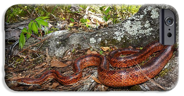 Serpent iPhone Cases - Coastal Corn Snake  iPhone Case by Eric Abernethy