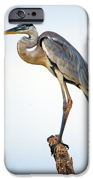 Birds iPhone Cases - Cocoi Heron Ardea Cocoi, Pantanal iPhone Case by Panoramic Images