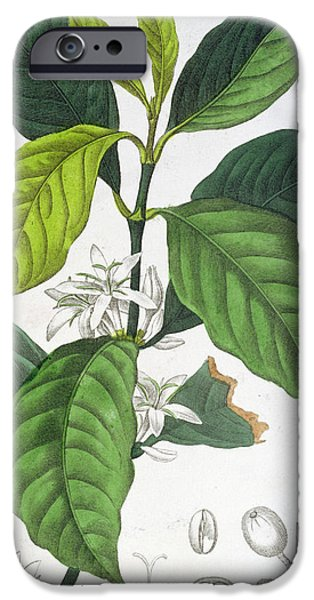 Plant iPhone Cases - Coffea Arabica iPhone Case by Pancrace Bessa