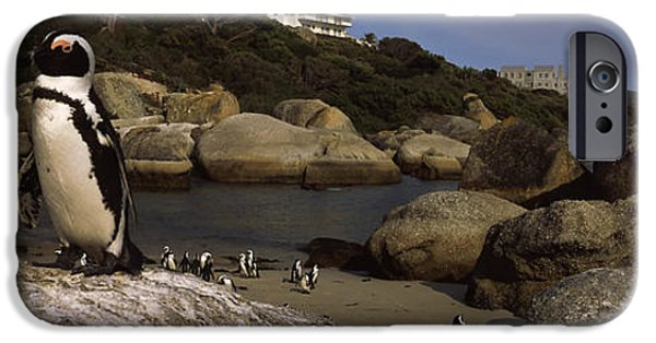 Sea Birds iPhone Cases - Colony Of Jackass Penguins Spheniscus iPhone Case by Panoramic Images