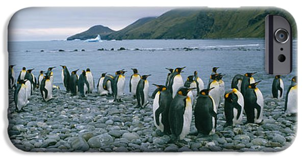 Flocks Of Birds iPhone Cases - Colony Of King Penguins On The Beach iPhone Case by Panoramic Images