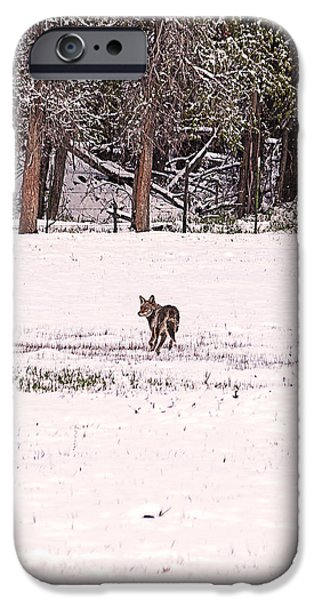Colorado Coyote Play iPhone Case by Janice Rae Pariza