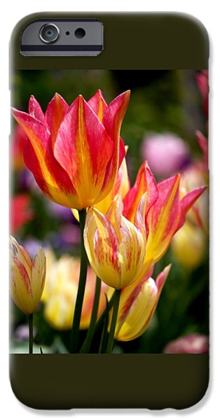 Square Photographs iPhone Cases - Colorful Tulips iPhone Case by Rona Black