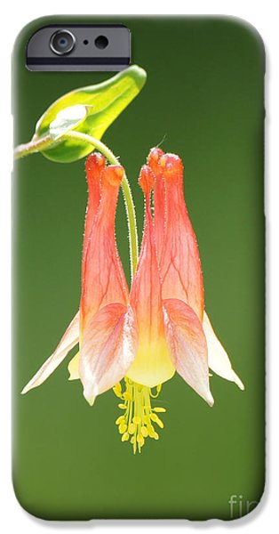 Columbine Flower in Sunlight iPhone Case by Robert E Alter Reflections of Infinity