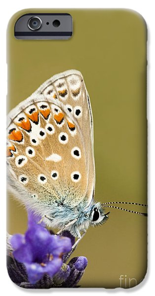 July iPhone Cases - Common Blue iPhone Case by Anne Gilbert