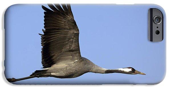 Exoticism iPhone Cases - Common Crane Grus grus iPhone Case by Nir Ben-Yosef