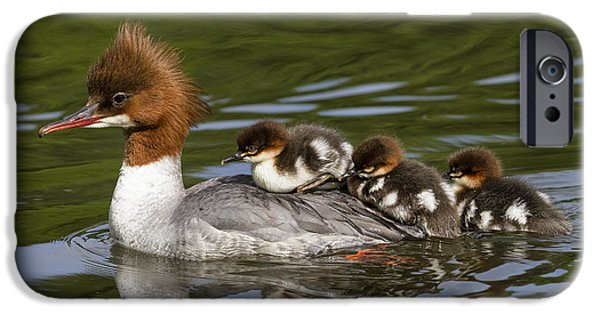 Bayern iPhone Cases - Common Merganser Mother Carrying Chicks iPhone Case by Konrad Wothe